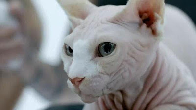 sphynx-cat-bad-romance
